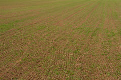 Rows of young winter grain on field. Royalty Free Stock Photography