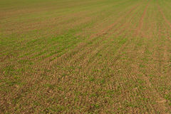 Rows of young winter grain on field. Royalty Free Stock Images
