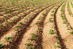 Rows of youngs potatoes Stock Photos