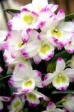 różowy białych orchidei Obraz Royalty Free