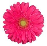 Różowy gerbera kwiat odizolowywający na białym tle Zdjęcia Royalty Free