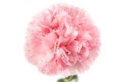 Różowy goździka kwiat z wody kroplą Fotografia Royalty Free