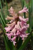 różowy hiacynt Fotografia Royalty Free