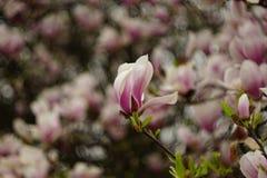 Różowy kwiat magnolia Obrazy Royalty Free