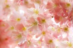 różowy kwiat wiśni i czereśni Obrazy Royalty Free