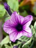 Różowy kwiat z purpurowymi żyłami Fotografia Royalty Free