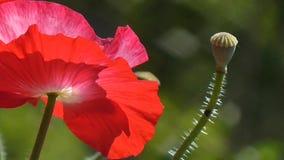 Różowy maczek Biel, czerwony maczek na zielonym tle Zakończenie maczki na słonecznym dniu zbiory wideo
