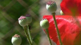 Różowy maczek Makowi pączki Biel, czerwony maczek na zielonym tle Zakończenie maczki na słonecznym dniu zbiory wideo