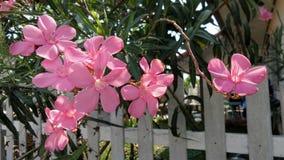 Różowy oleander Zdjęcia Royalty Free