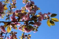 Różowy Sakura okwitnięcie przeciw niebieskiemu niebu (wiśnia) Zdjęcia Royalty Free