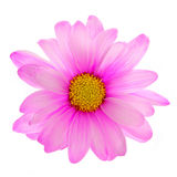 Różowy stokrotka kwiat odizolowywający Obrazy Royalty Free