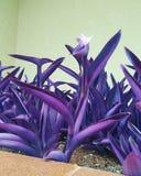 Roxa de Flor foto de archivo