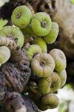 Roxburgh-Feigenbaum mit Früchten Stockfoto