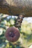 Roxburgh-Feigenbaum mit Früchten Lizenzfreie Stockfotografie