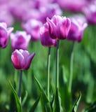 Roxo com as tulipas brancas da beira Fotos de Stock Royalty Free