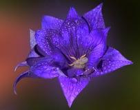 Roxo com azul Imagem de Stock Royalty Free