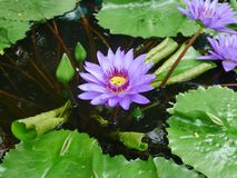 Roxo da cor da flor de Lotus do lírio de água de Lotus fotografia de stock royalty free