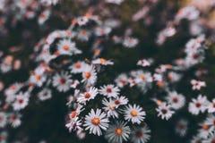 Roxo da flor Fotos de Stock