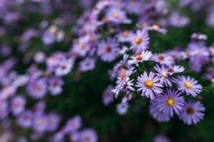 Roxo da flor Imagens de Stock
