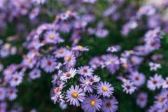 Roxo da flor Fotografia de Stock