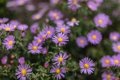 Roxo da flor Imagem de Stock Royalty Free