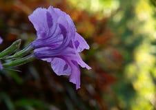 Roxo da flor Fotos de Stock Royalty Free