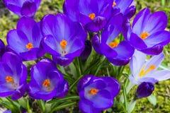Roxo da flor do açafrão Fotografia de Stock Royalty Free