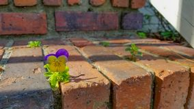 Roxo da flor e amarelo pequenos foto de stock royalty free