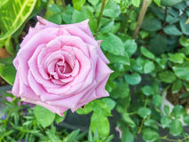 Roxo de Rosa Fotografia de Stock Royalty Free