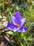 Roxo do açafrão As primeiras flores da mola Imagens de Stock Royalty Free