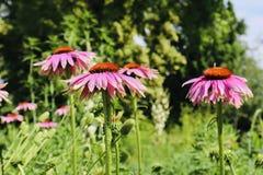 Roxo e flor vermelha bonitos em um campo fotografia de stock royalty free