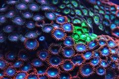 Roxo e luz emitindo-se coral azul sob a foto subaquática UV Fundo marinho orgânico do sumário fotos de stock