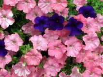 Roxo escuro vibrante misturado com os petúnias cor-de-rosa fotografia de stock