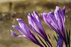 Roxo, flor do açafrão da mola Imagem de Stock Royalty Free