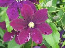 Roxo florescido da clematite do botão Pétala da flor imagem de stock royalty free