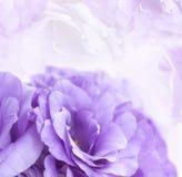 Roxo Lisianthus do fundo da flor Fotografia de Stock Royalty Free
