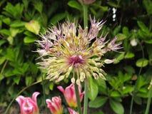 Roxo que floresce a cebola decorativa Imagem de Stock
