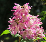 Roxo que floresce a cebola decorativa Fotografia de Stock