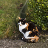 Roxy Cat guarding. Royalty Free Stock Photo