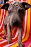 roxy ridgeback собаки тайское Стоковое фото RF