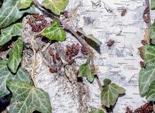 Roy czerwony insekt na białym korowatym drzewie Zdjęcie Royalty Free