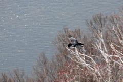 roya πετάγματος αετών Στοκ φωτογραφία με δικαίωμα ελεύθερης χρήσης