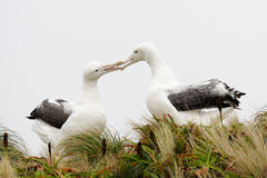 Royal Albatross. In courtship in Tussock grass stock photos