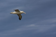 Royal Albatross in Flight Stock Images