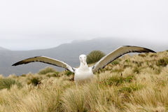 Royal Albatross Stock Images