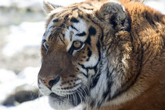 Royal Amur Tiger Royalty Free Stock Photography