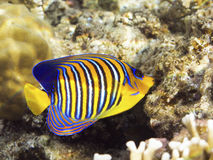 Royal angelfish. A nice and coloured royal angelfish in red sea (near the bay of Brayka Resort Stock Photography