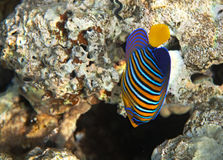 Royal angelfish. Flora and fauna of the Red Sea Stock Image
