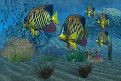 Royal Angelfish. Beautiful Royal Angelfish shimmer with their gorgeous colors near a coral reef Royalty Free Stock Photo