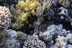 royal angelfish Zdjęcie Royalty Free